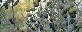 Olives-for-extra-virgin-olive-oil