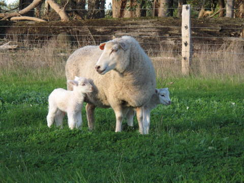 lambs-oliv-hill-farm-margaret-river
