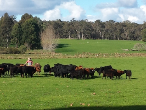 benji-with-cattles-at-olive-hill-farm