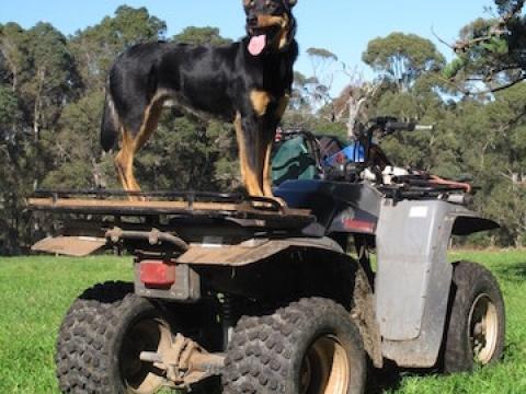 digger-on-guard-at-olive-hill-farm