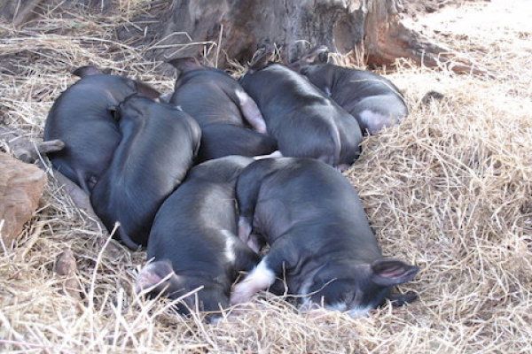 lovely-plump-black-pigs-at-olive-hill-farm
