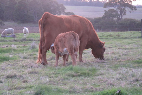 nursing-calf-at-olive-hill-farm