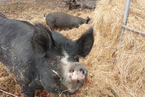 olive-hiill-farm-pigs