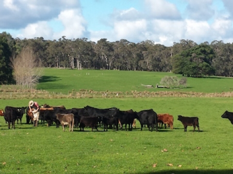 olive-hill-farm-cattle