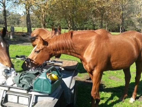 olive-hill-farm-curious-horses