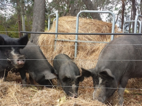 olive-hill-farm-pigs-on-hay