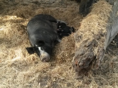 olive-hill-farm-sleeping-pig