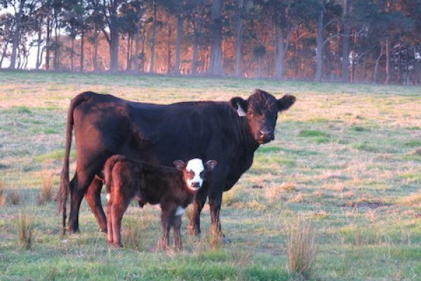 the-cow-and-its-calf-at-olive-hill-farm