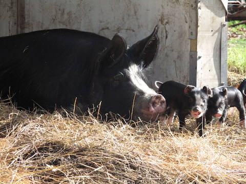 the-momma-pig-and-its-piglets-at-olive-hill-farm