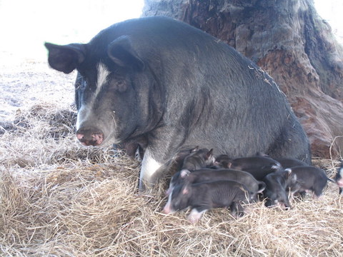 the-mother-pig-and-its-sucklings-at-olive-hill-farm